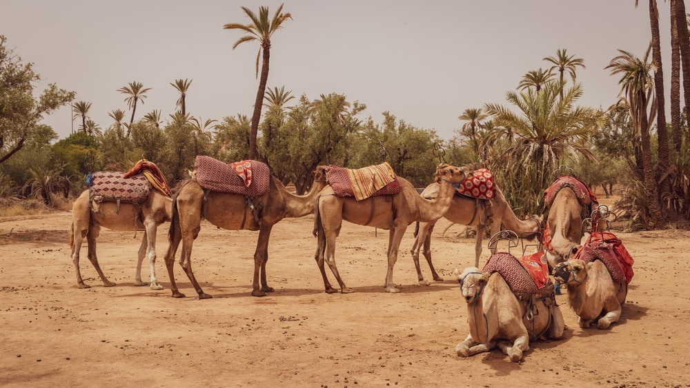 seven brown camels photo