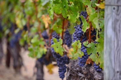 4674. Bor,szőlő, borászatok