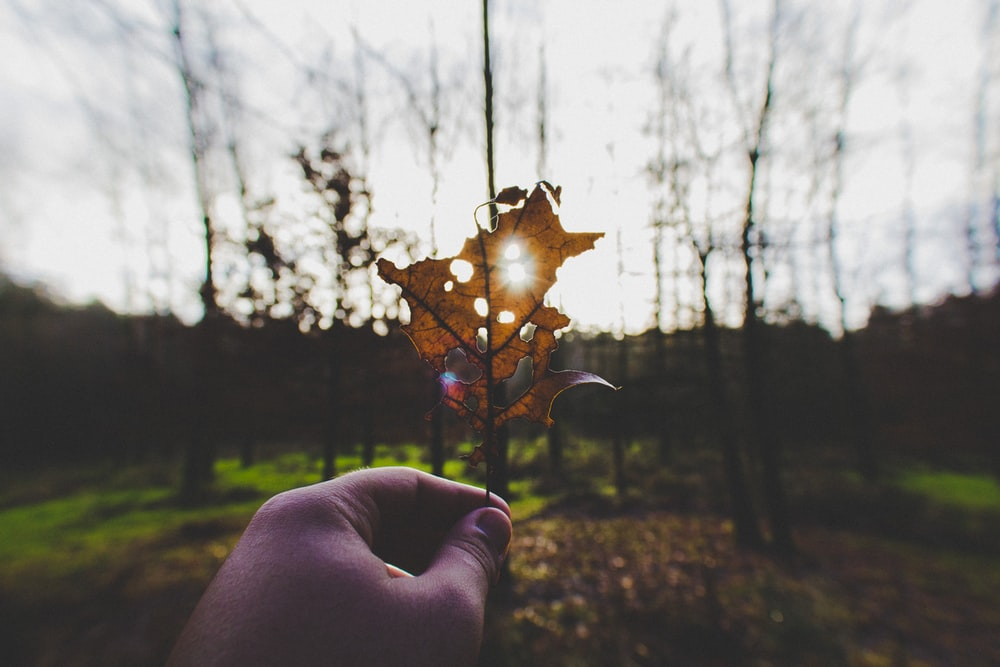 brown withered leaf