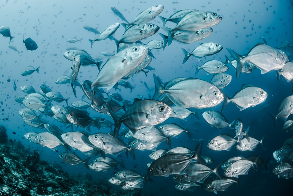 silver fishes underwater