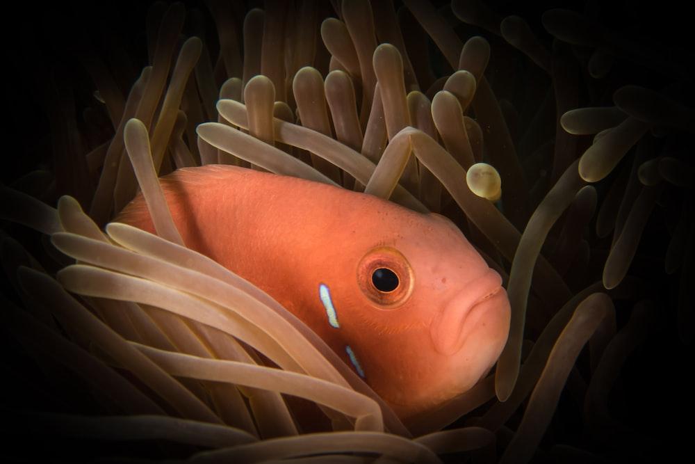 fish hiding at sea anemone photo