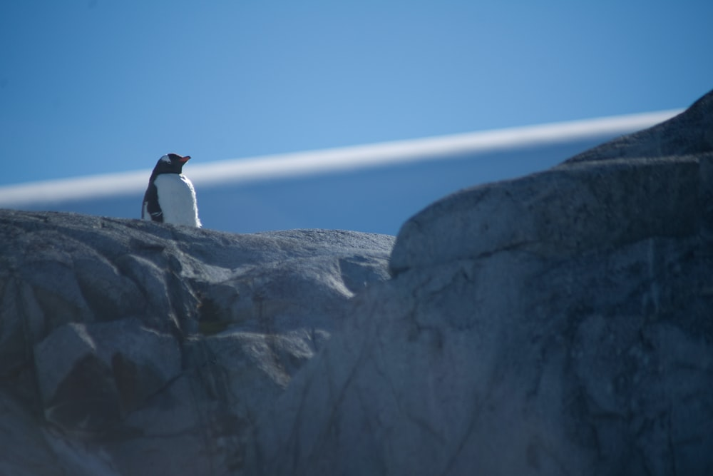 black and white penguin on top of a rock