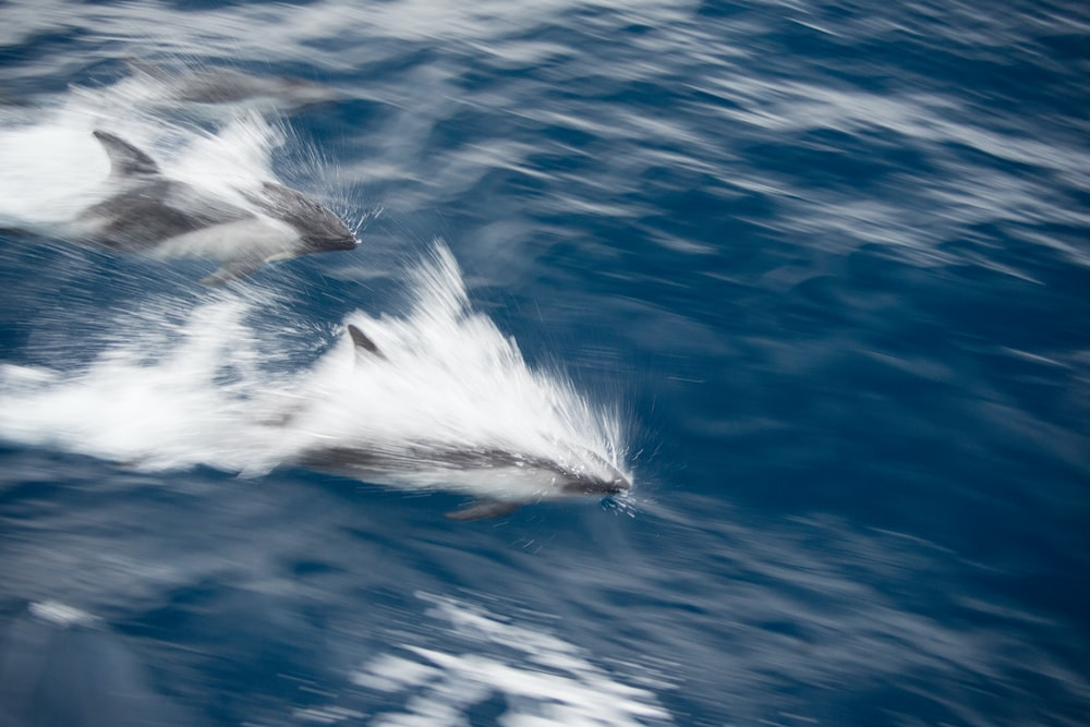 two dolphins swimming on water