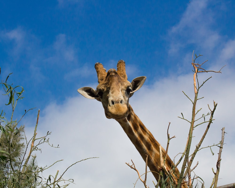 brown giraffe in close-up photography during daytime