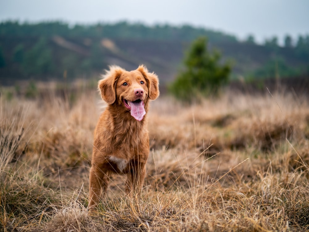 selective focus photography of adult Nova Scotia duck tolling retriever showing tongue