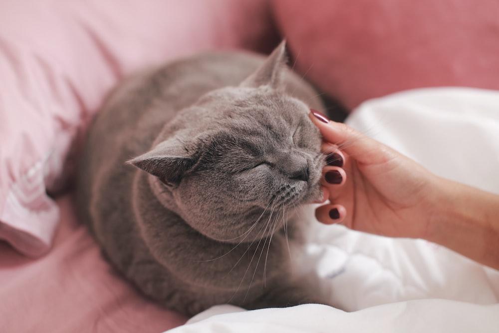 cat lies in bed