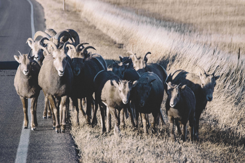 herd of sheep on road