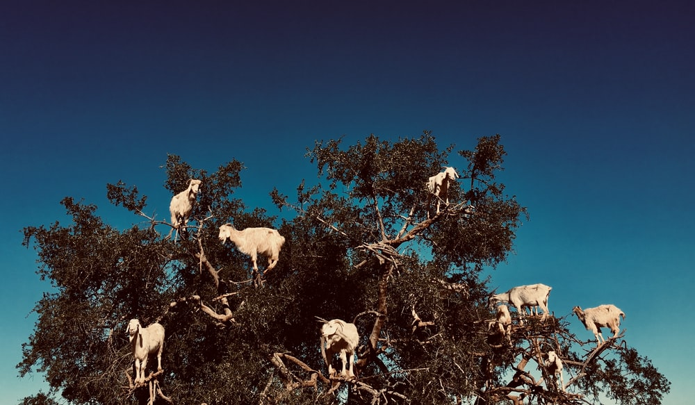 digital wallpaper of white goats on branches of tree