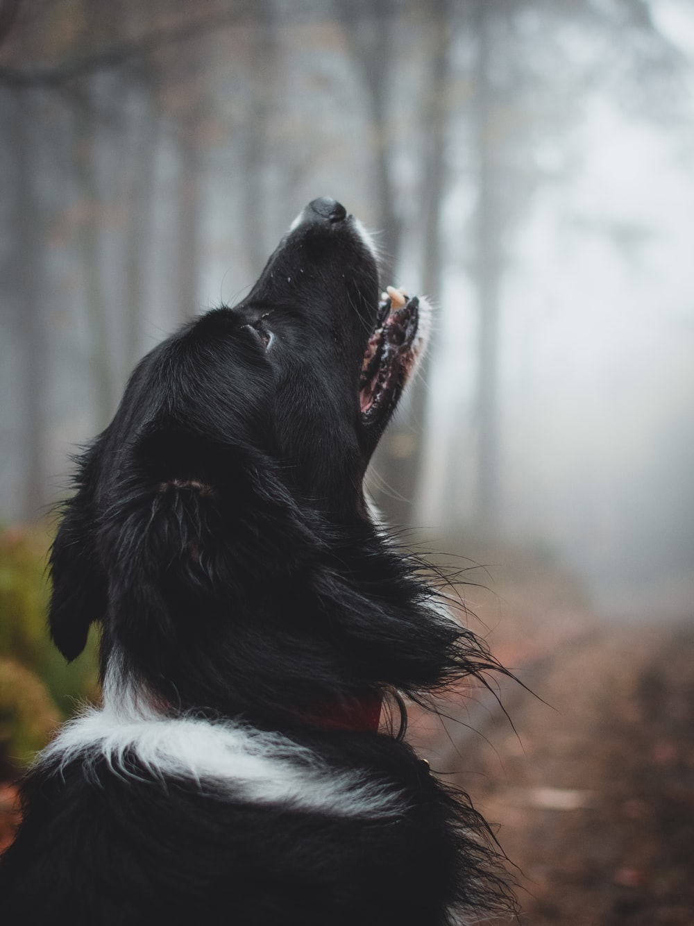 howling short-coat black and white dog under shade of trees