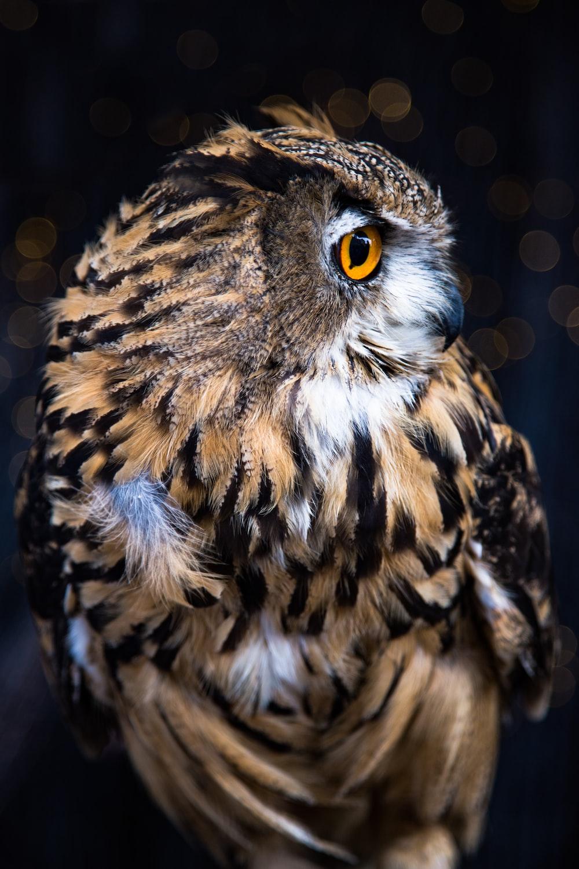 brown barn owl