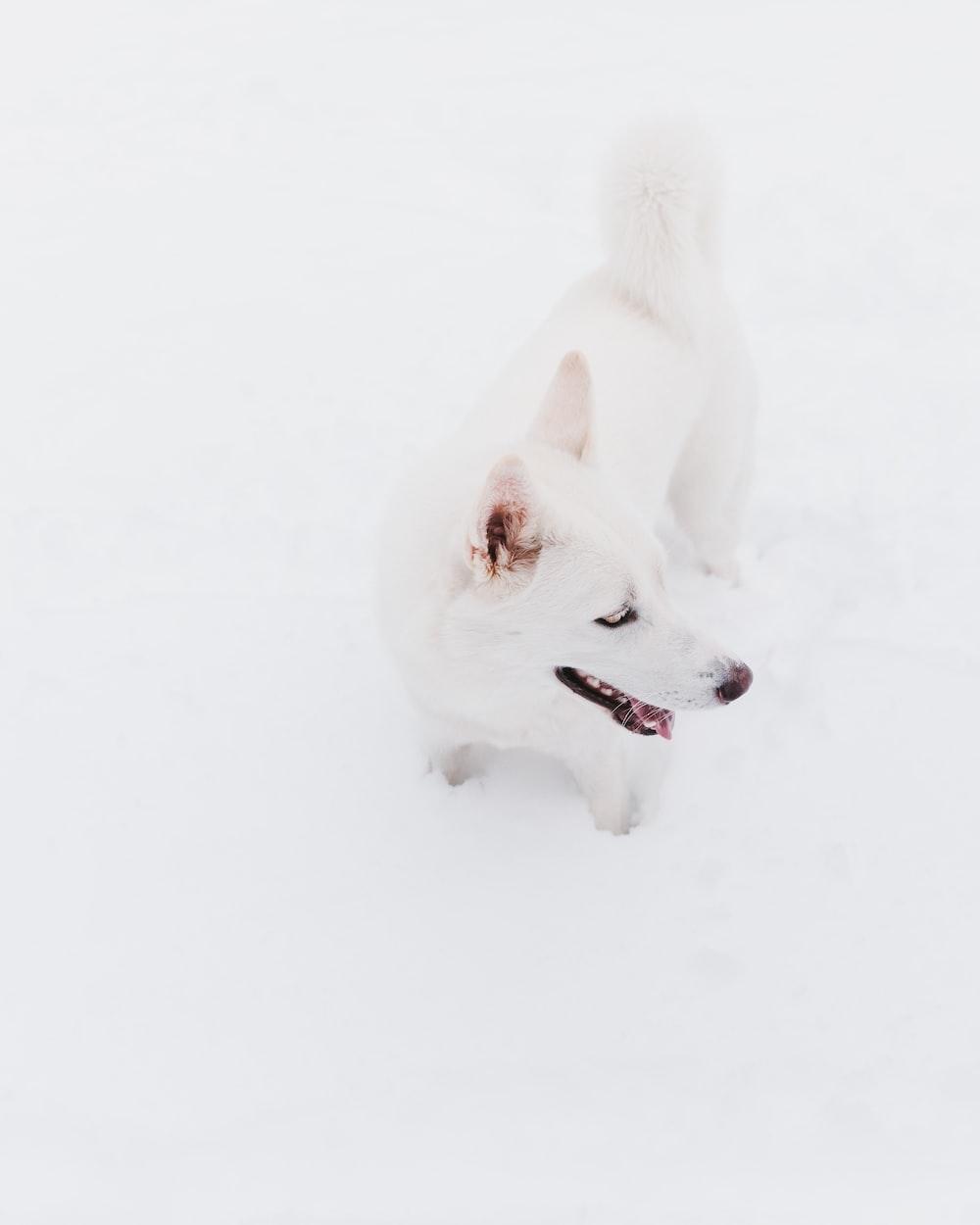 white kishu ken