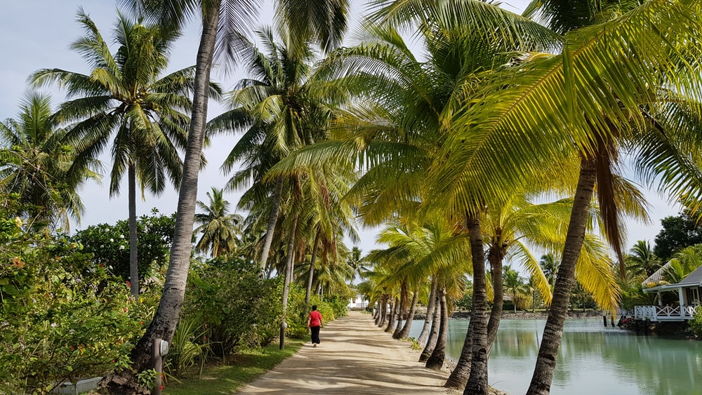 person walking on pathway between coconut trees