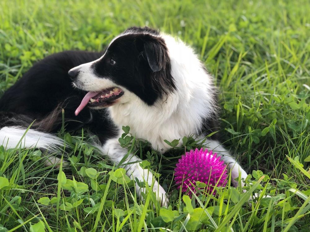 dog lying on grass field beside spike ball toy
