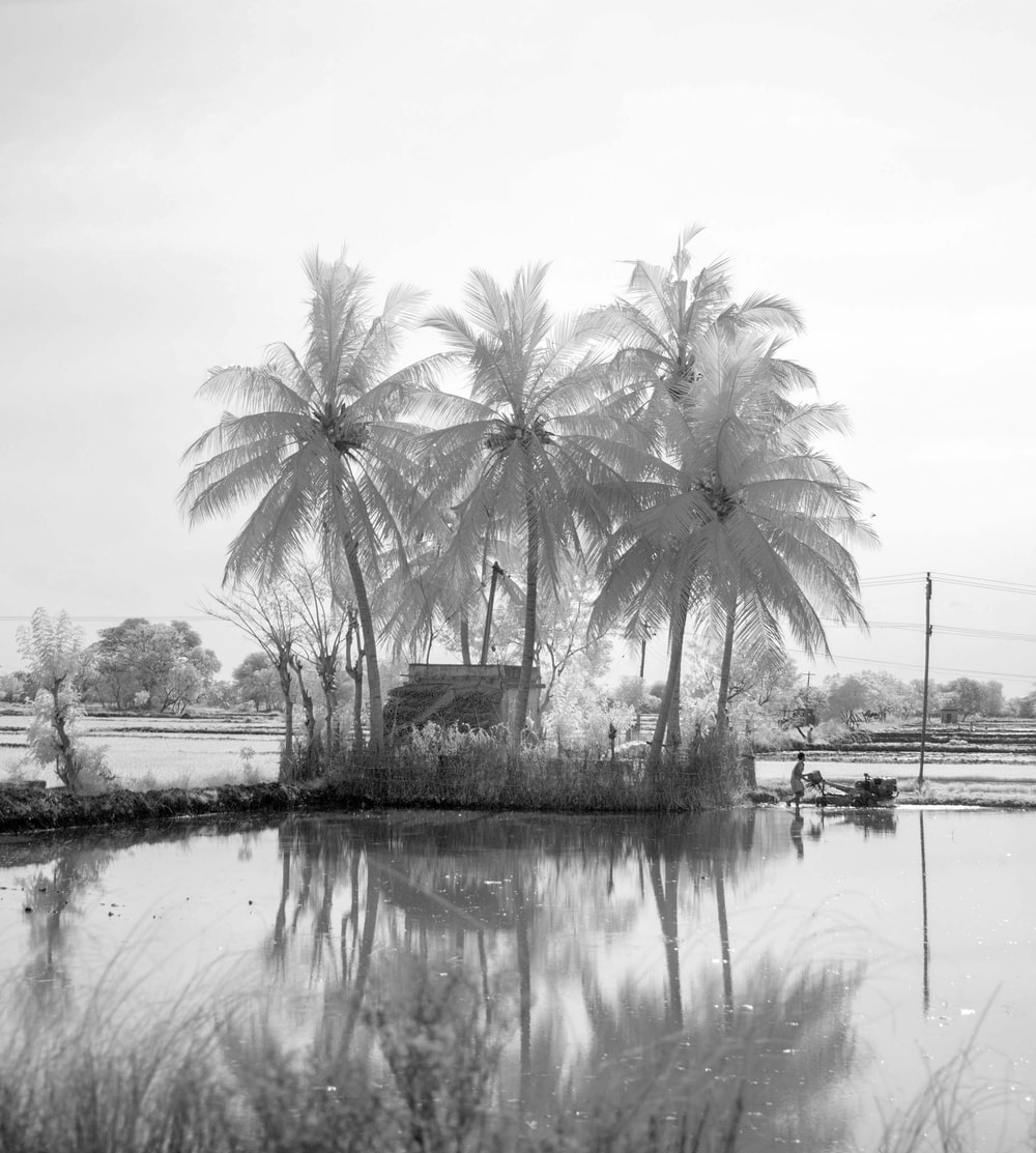grayscale photography of coconut trees near body of water
