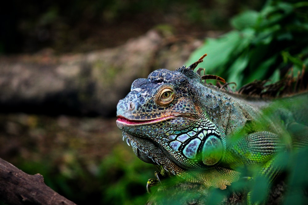 green lizard in close-up photography