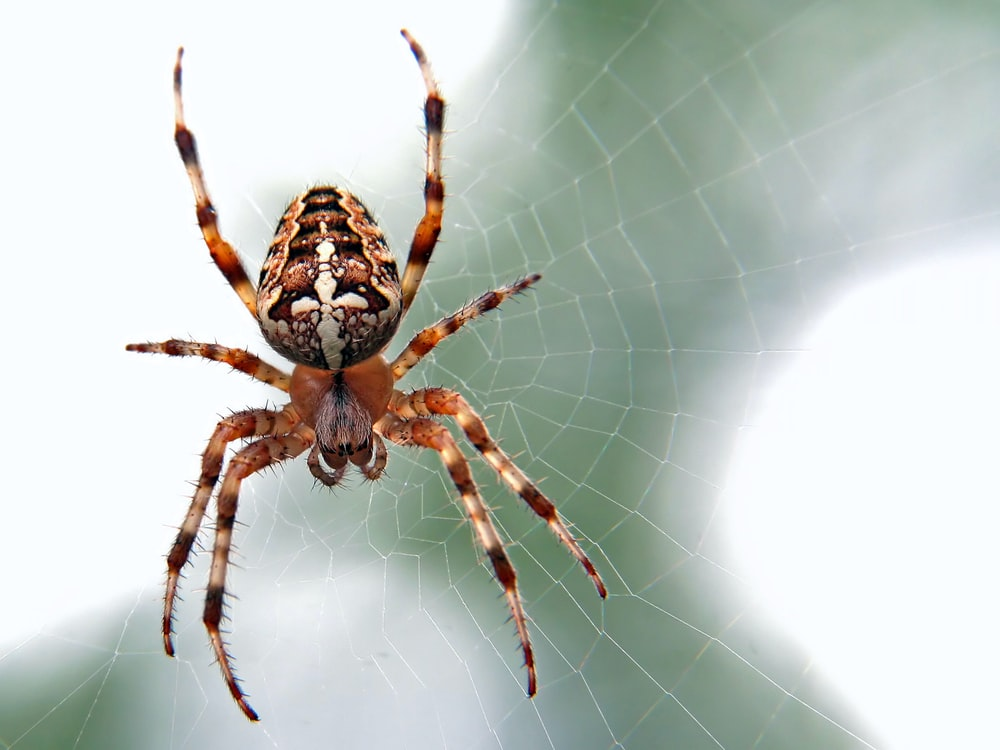 brown and black spider close-up photography