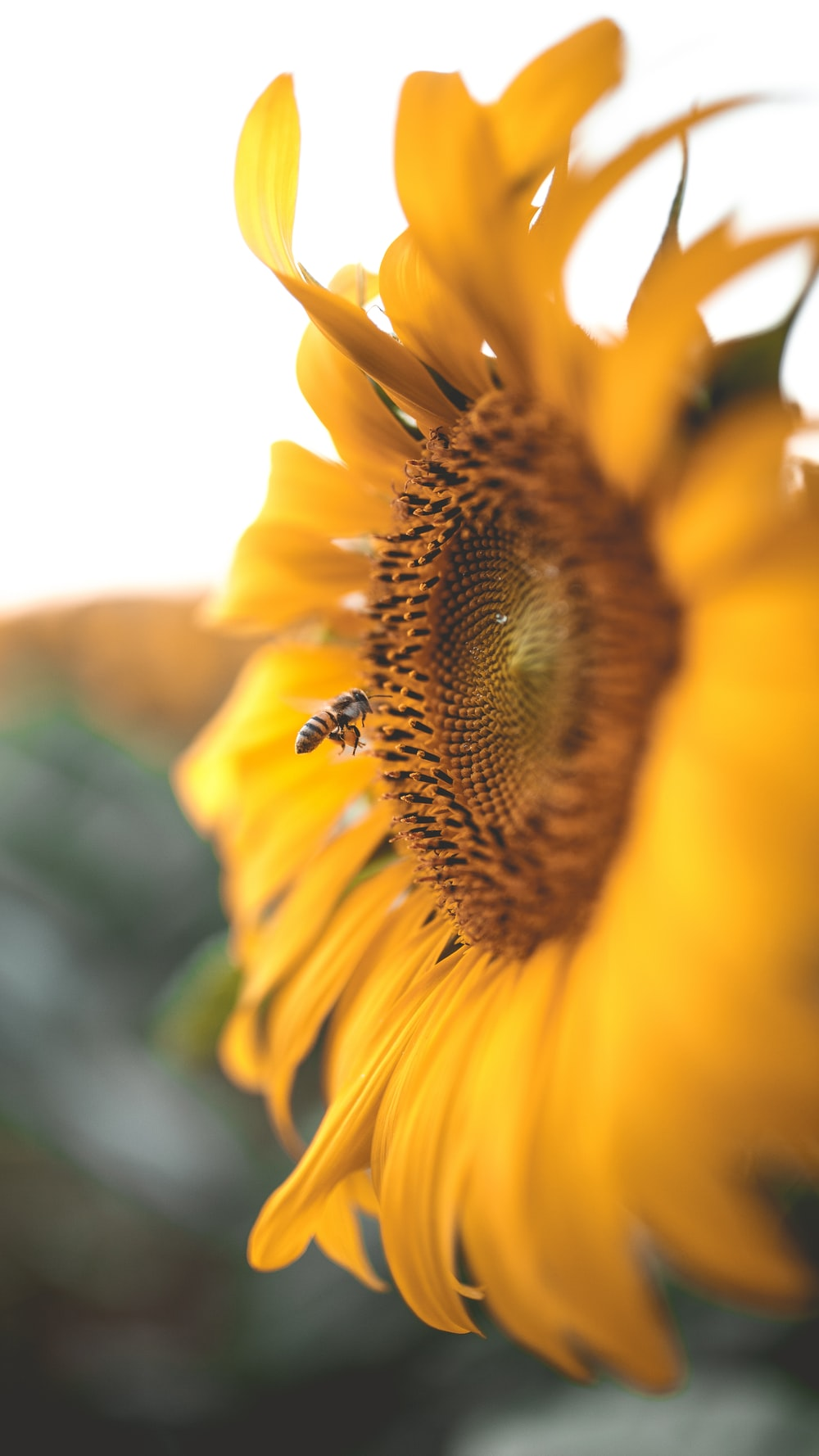 micro photography of bee on sunflower