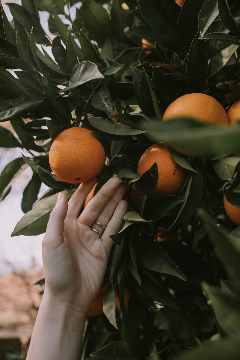 person holding orange fruit with green leaf