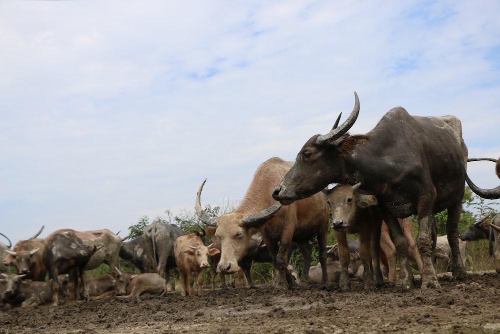 herd of water buffalo during daytime