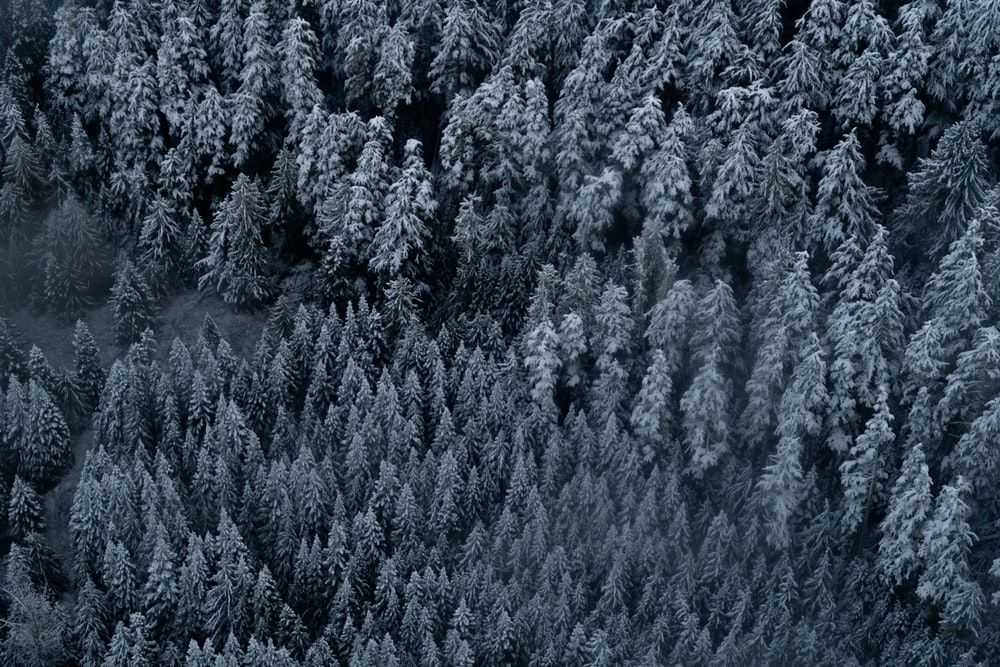 aerial view of pine trees during daytime
