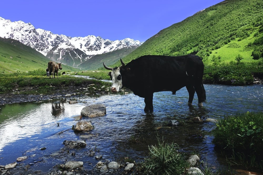 black and white cow on body of water