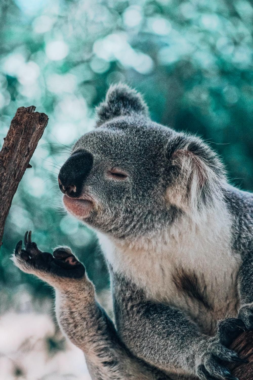 koala bear smelling foot