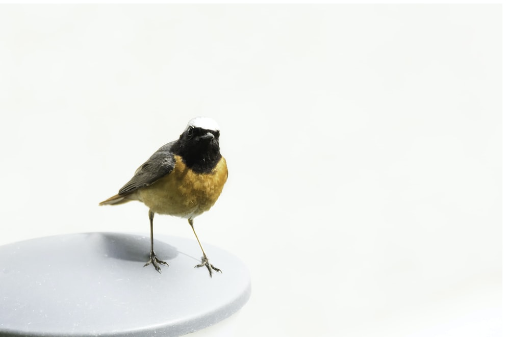 yellow and black bird on white surface