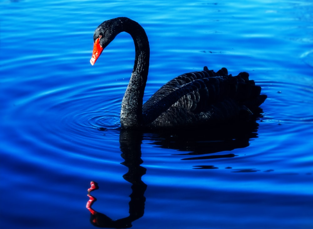 black swan on water