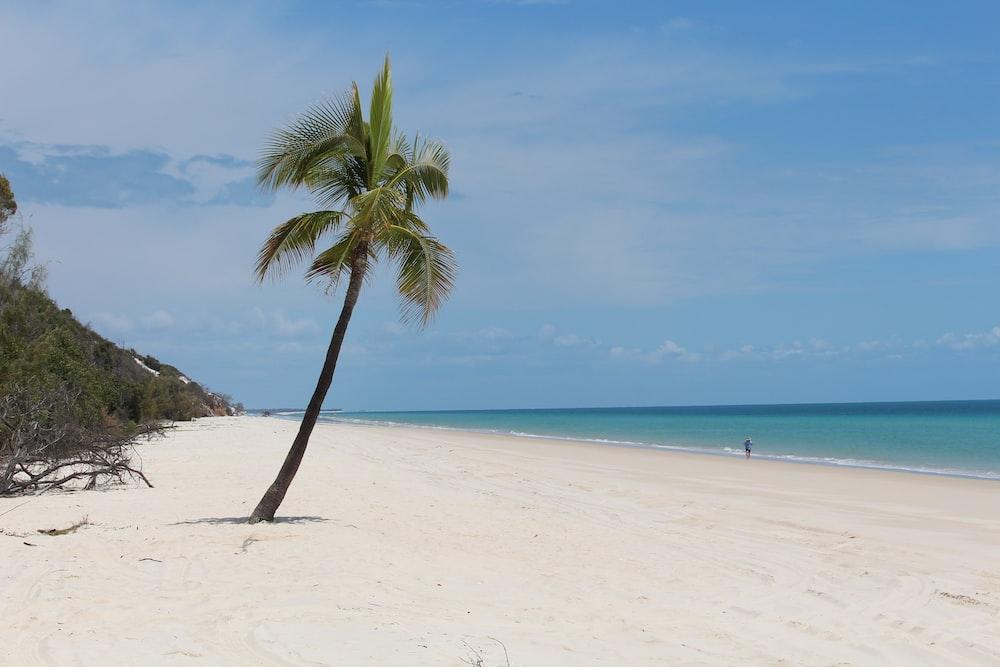 coconut tree near ocean shore