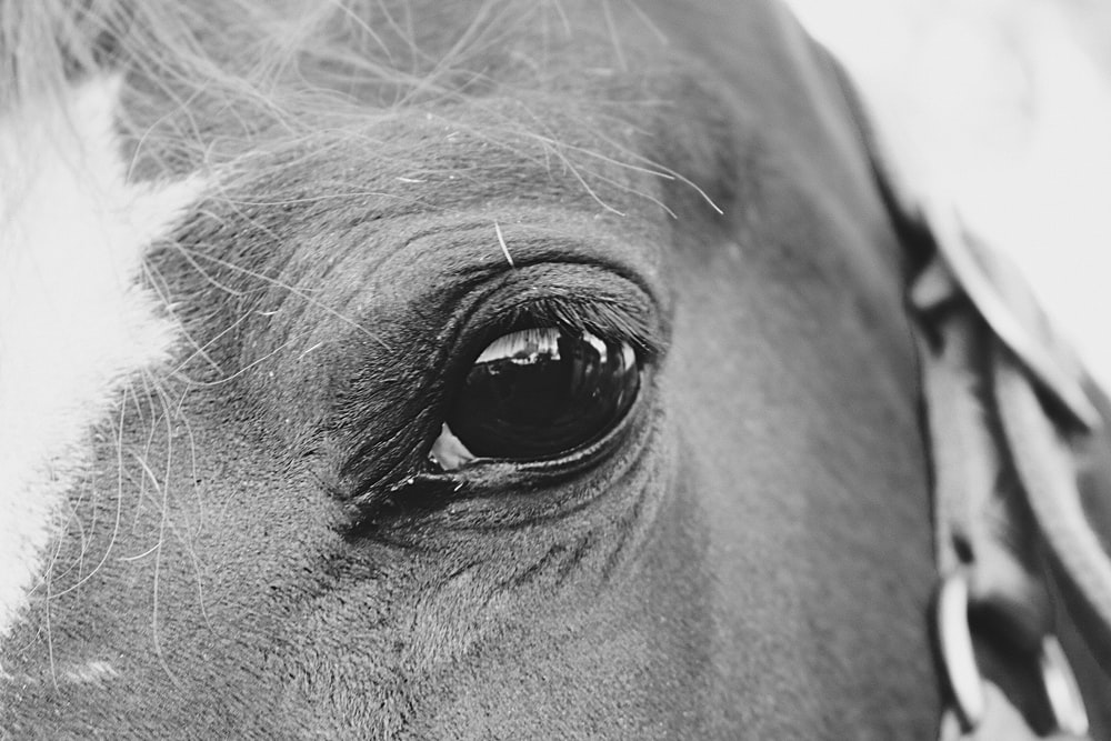 grayscale photography of horse's eye