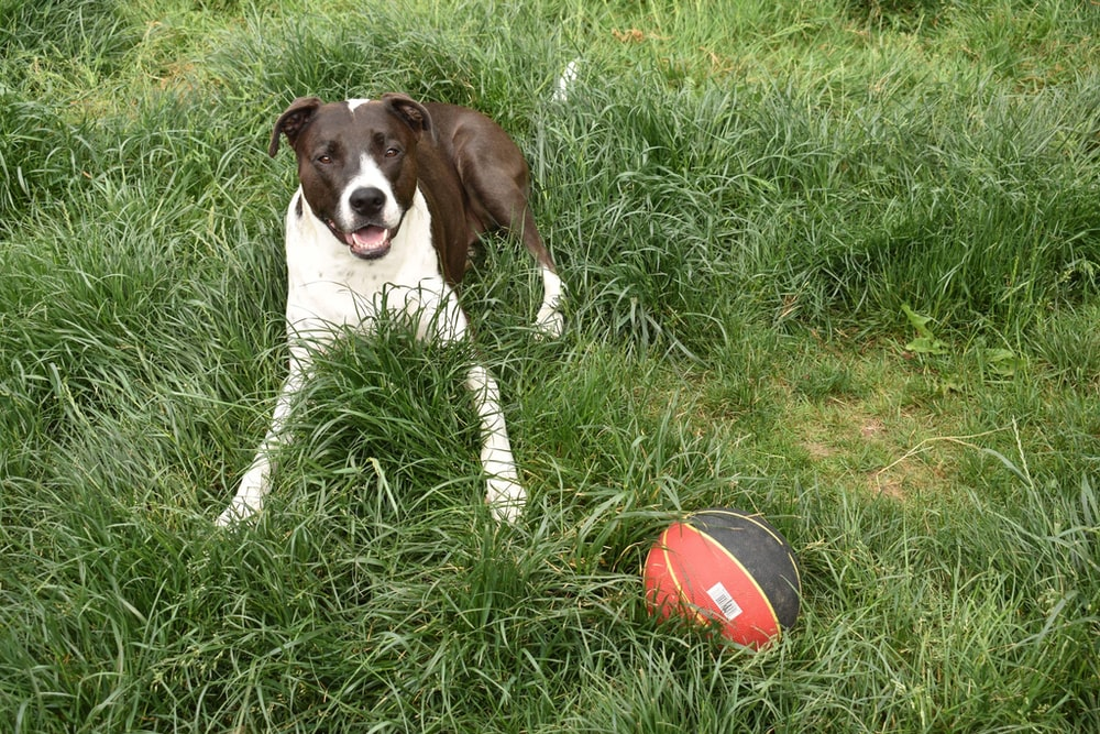 white and brown dog prone lying on grass in front of ball