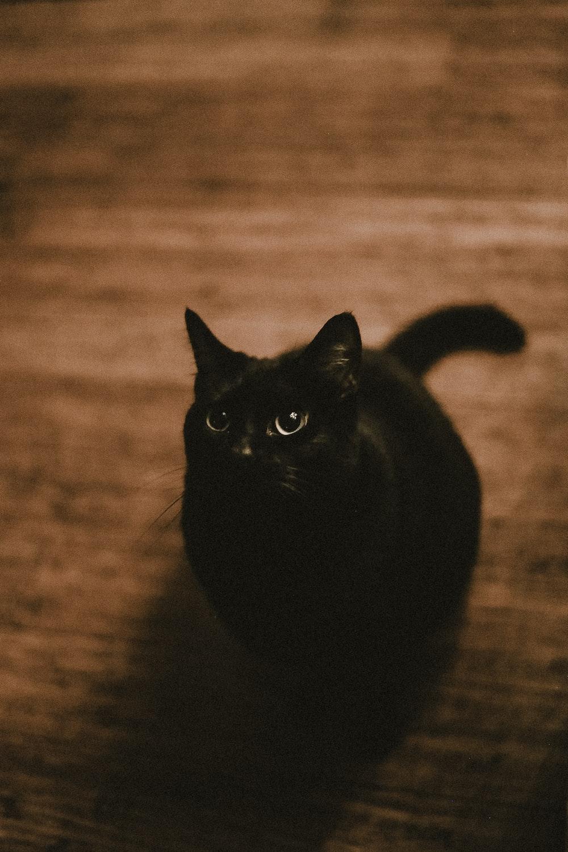 short-coated black cat