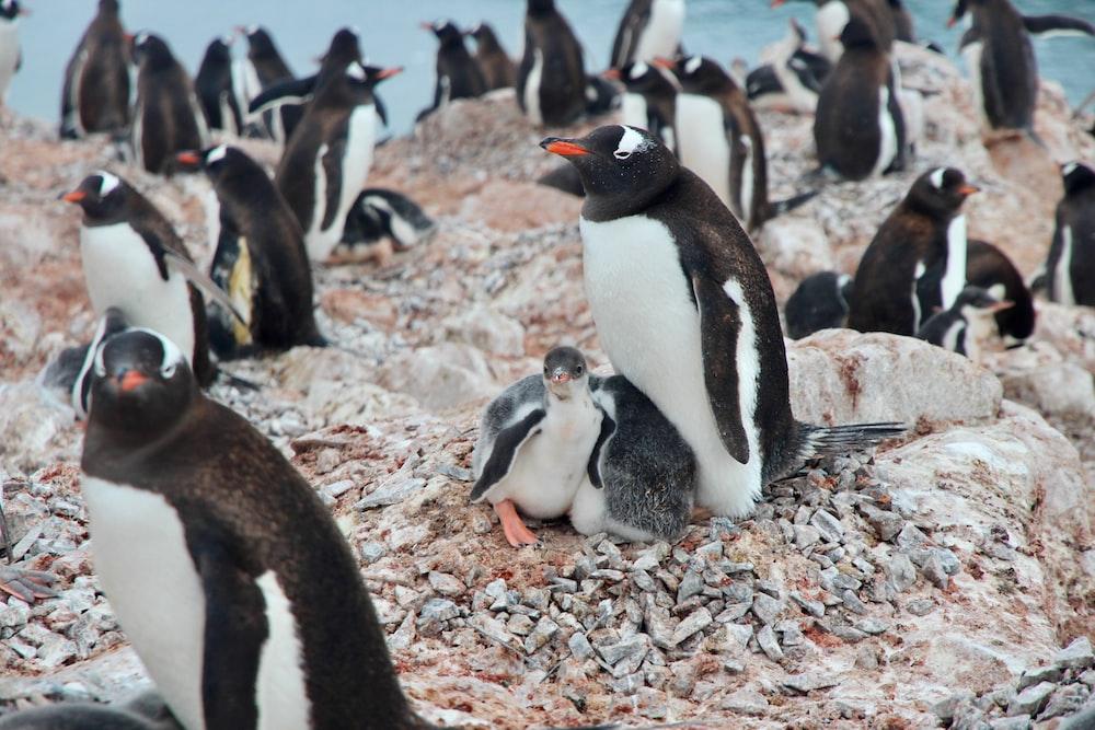 white-and-black penguins