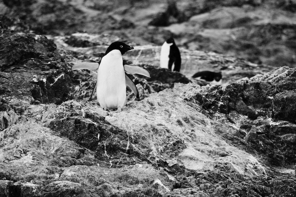 grayscale penguin