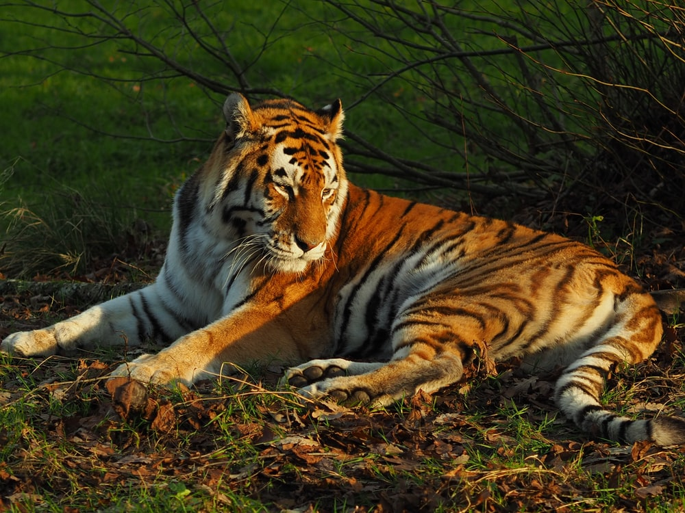 lying brown and white tiger beside bare plant