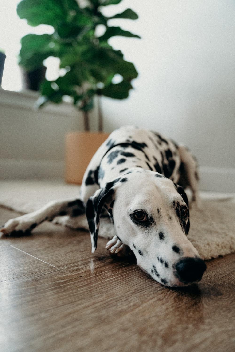 adult Dalmatian lying on white area mat