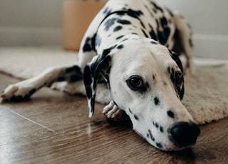 adult Dalmatian lying on white area mat