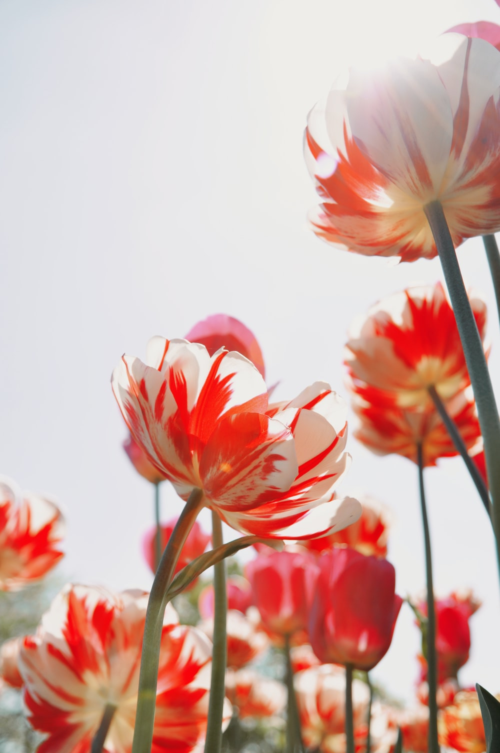 full-bloomed red and white tulip flowers