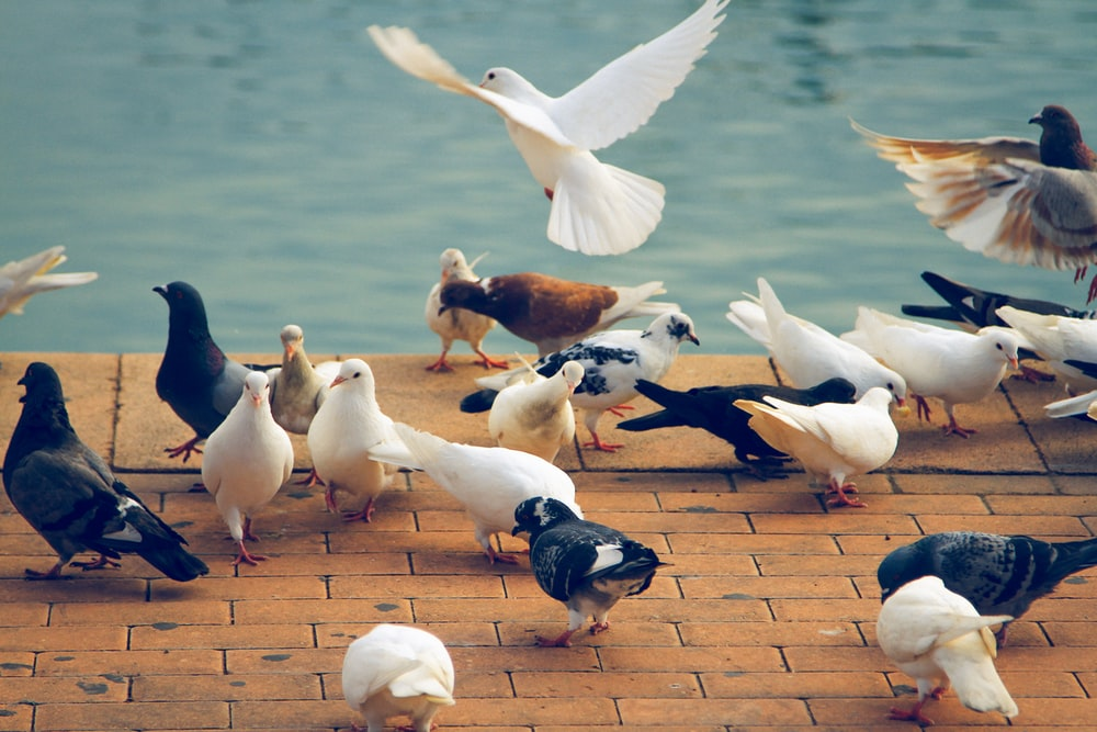 doves on brown pavement beside body of water