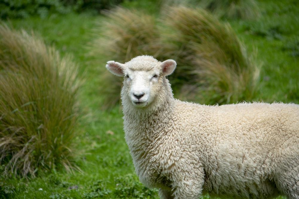 gray sheep near green bushes