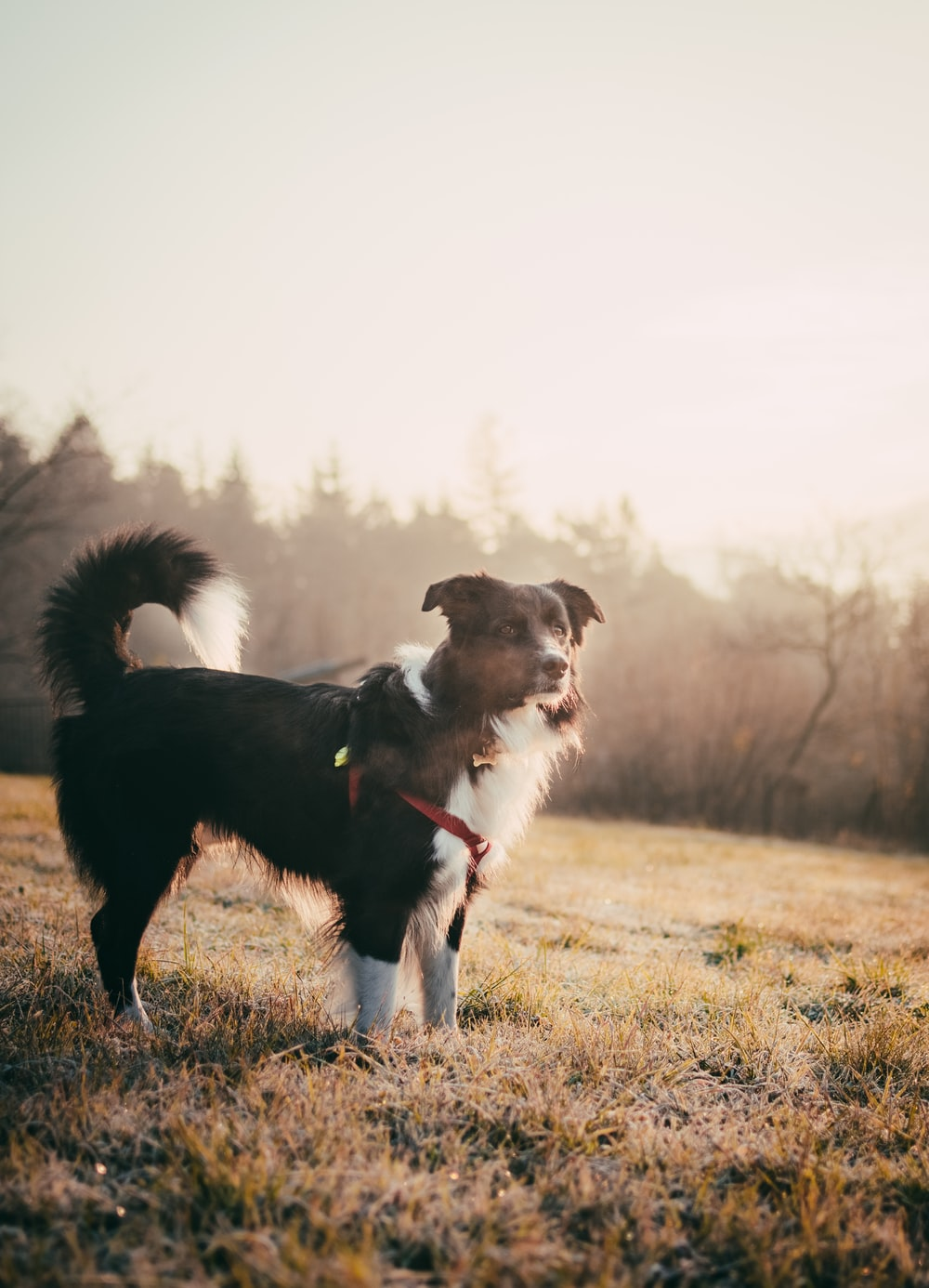 adult black and white Border collie standing on grass during daytime