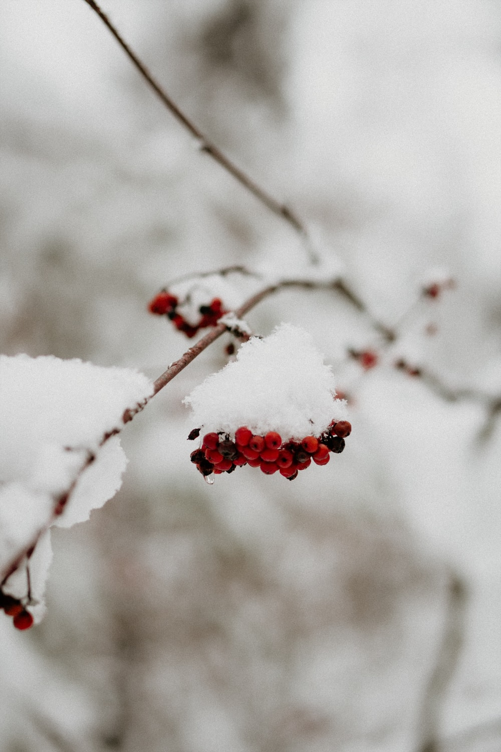 red fruits covered with snow in close-up photography