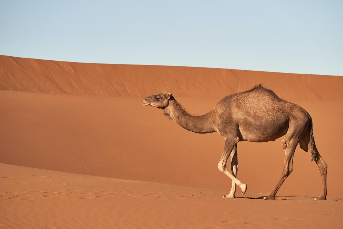 dromedario, brown camel walking on desert