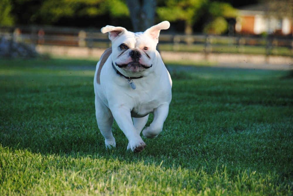 white and brown American bulldog puppy walking on grass field