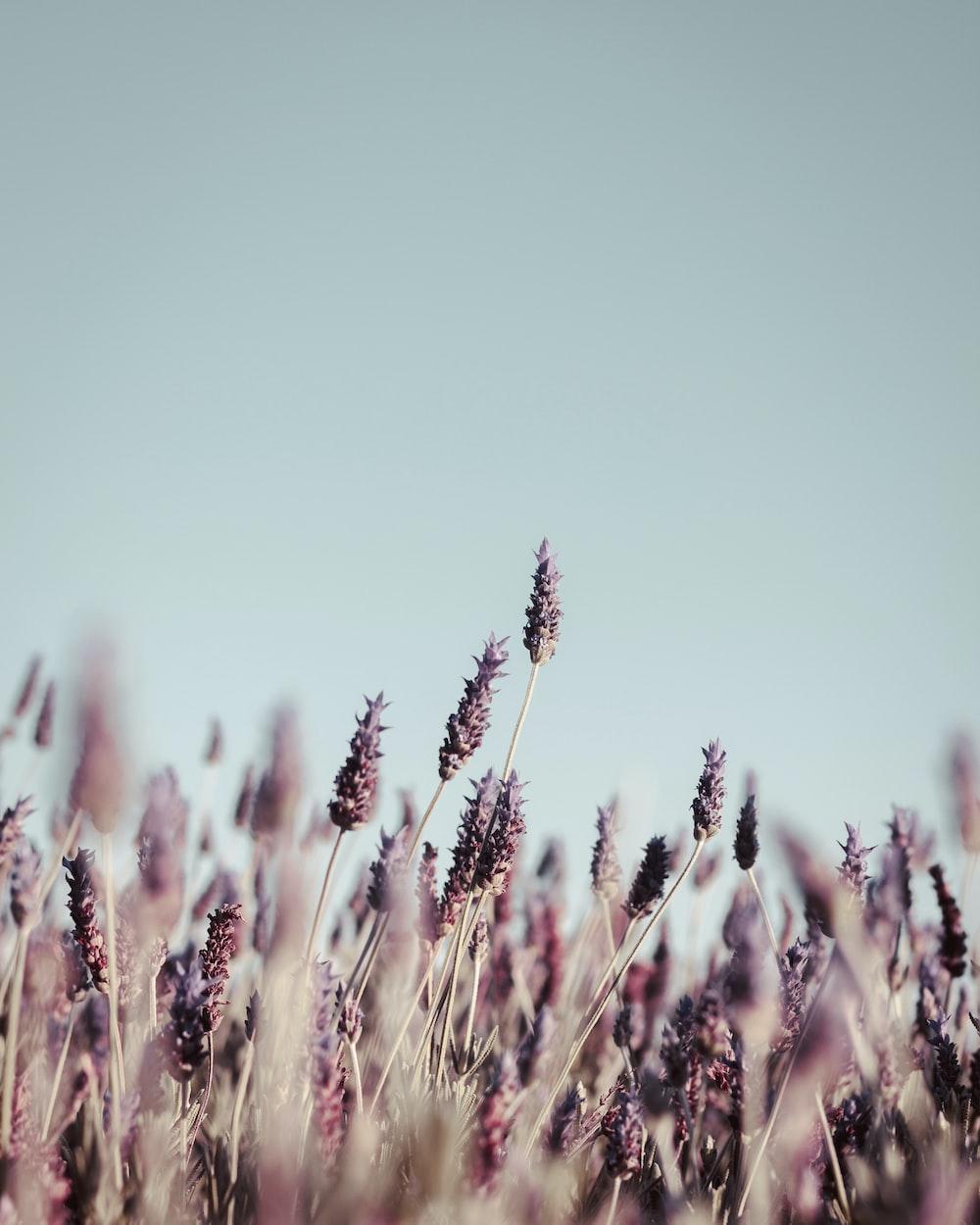 purple petaled flower field at daytime