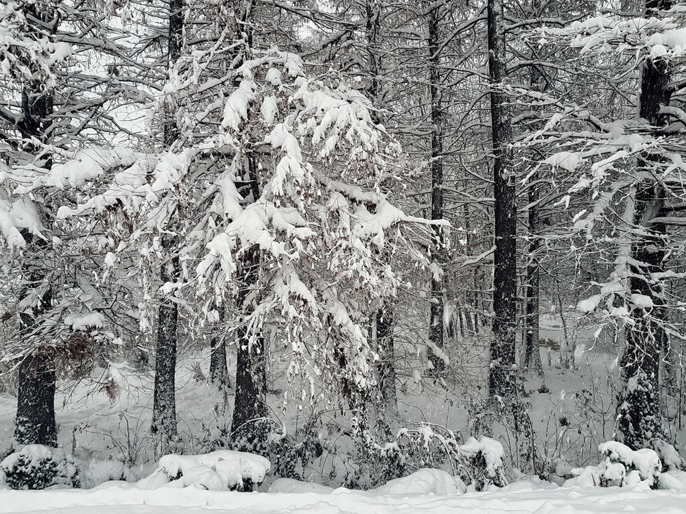 snow covered trees during winter seaon
