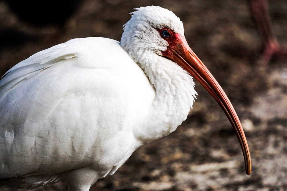 American white ibis bird close-up photography