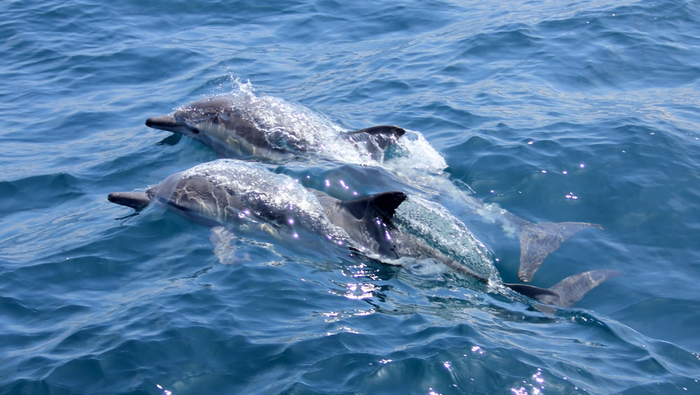 gray dolphins underwater during daytime