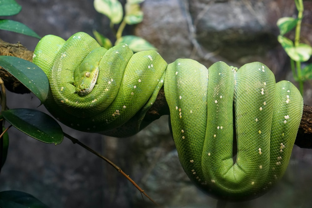 green pit viper wrapper on tree branch