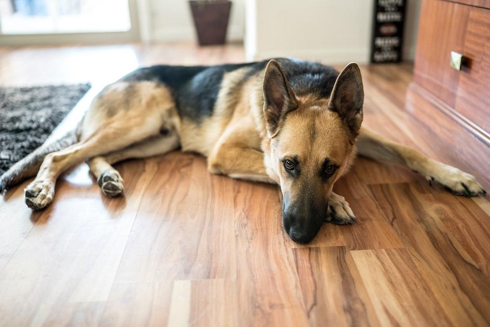 adult black and tan German shepherd lying on floor